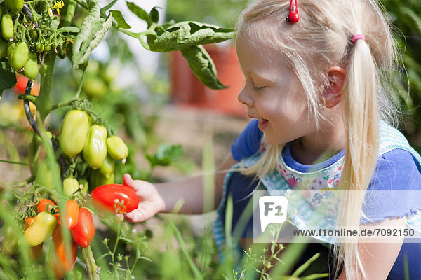 Girl picking tomatoes in garden