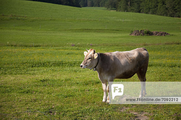 Germany  Bavaria  Cow in pasture
