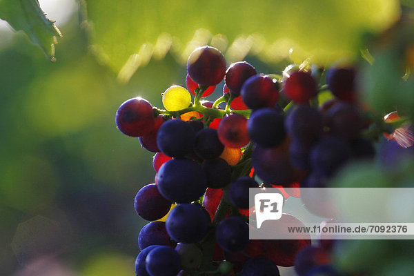 Germany  Close up of red grapes on vine