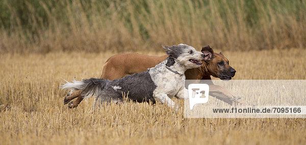 Zwei Hunde rennen durch ein abgemähtes Getreidefeld  Priort  Brandenburg  Deutschland  Europa