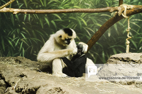 Pflegesitzung zwischen Mutter und Baby Affe  Lincoln Park Zoo