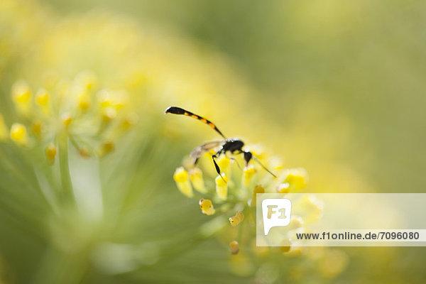 Blume  Fenchel  Bestäubung  Wespe Blume ,Fenchel ,Bestäubung ,Wespe