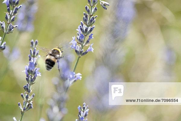 zwischen  inmitten  mitten  fliegen  fliegt  fliegend  Flug  Flüge  Blume  Hummel  Lavendel zwischen, inmitten, mitten ,fliegen, fliegt, fliegend, Flug, Flüge ,Blume ,Hummel ,Lavendel