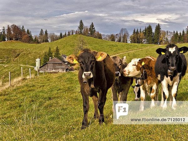 Hausrind Hausrinder Kuh Milchprodukt Landwirtschaft Bauernhof Hof Höfe Wald Holz Rind Herbst Wiese Weide Weideland Emmentaler Kanton Bern Kuh Kuhglocke Molkerei Schweiz