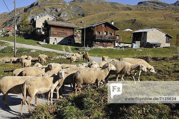 Alp Flix  Surses  Graubünden  Grisons  sheep  chalets  canton  Switzerland  Europe  Graubünden  Grisons  flock of sheep