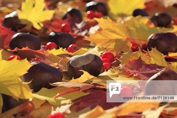 Rosskastanie Makroaufnahme Detail Details Ausschnitt Ausschnitte Farbaufnahme Farbe Farbe Farben Helligkeit Europa drehen Konzept gelb Wald Holz Close-up Herbst rot Beerenobst glänzen Kastanie Haselnuss Gegenlicht Laub Färbemittel Ahorn Schweiz