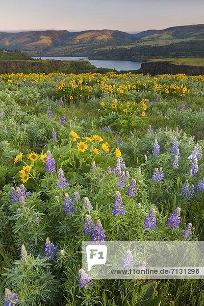 Vereinigte Staaten von Amerika  USA  Hochformat  Amerika  Blume  Botanik  Morgen  gelb  blühen  Wildblume  Schlucht  Lupine  Columbia River  Oregon