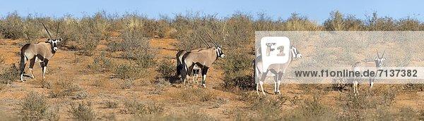 Spießbock  Oryx gazella  Kgalagadi-Transfrontier-Park  Northern Cape  Südafrika  Afrika
