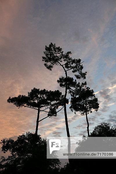 Pinien (Pinus pinea) im Sonnenuntergang  Insel Œle díOlÈron  Region Poitou-Charentes  DÈpartement Charente-Maritime  Frankreich  Europa