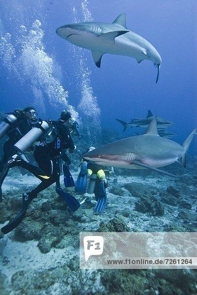 Caribbean reef shark (Carcharhinus perezii) swimming with divers  Roatan  Bay Islands  Honduras  Caribbean  Central America