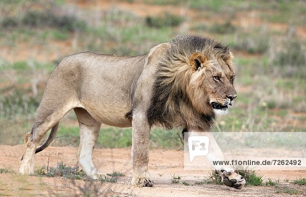 Lion (Panthera leo)  Kgalagadi Transfrontier Park  Northern Cape  South Africa  Africa