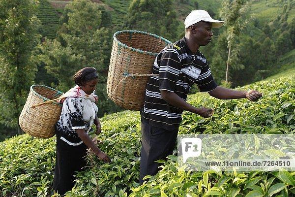 Ostafrika  Ehefrau  Bauer  aufheben  Afrika  Kenia  Lincoln  Tee