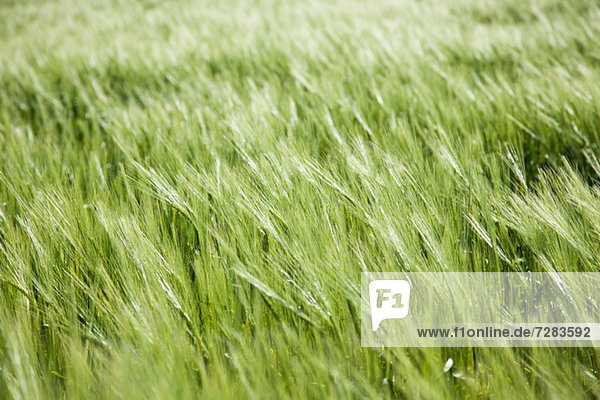 Langes Gras  Nahaufnahme