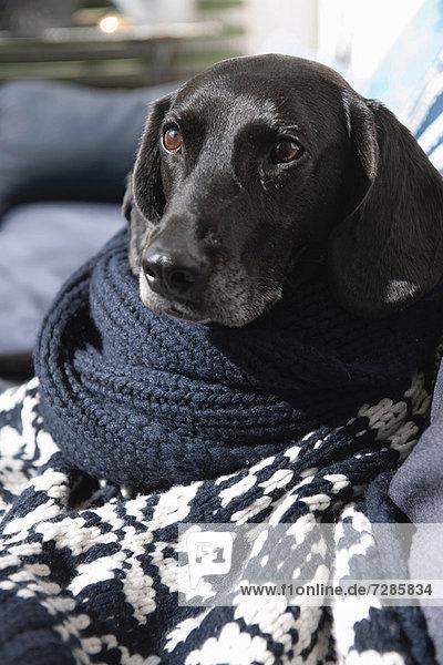 Hund in Strickdecke auf Sofa gewickelt