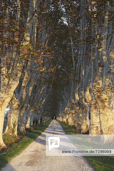 Platanenallee im Herbst  Saint-Rémy-de-Provence  Frankreich