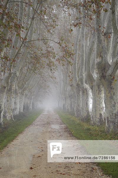 Platanenallee im herbstlichen Nebel  Saint-Rémy-de-Provence  Frankreich