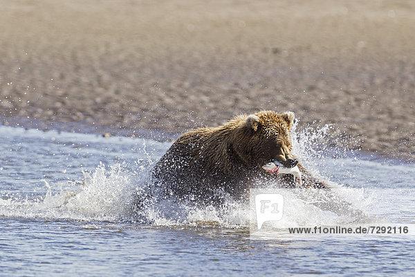 USA  Alaska  Braunbär mit gefangenem Lachs im Silver Salmon Creek am Lake Clark National Park und Preserve
