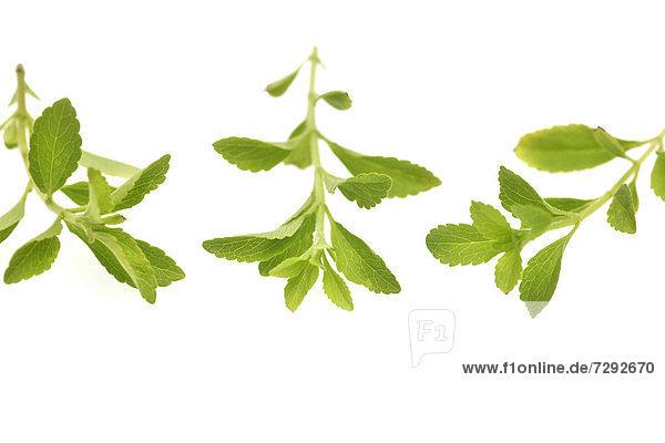 Stevia auf weißem Hintergrund  Nahaufnahme
