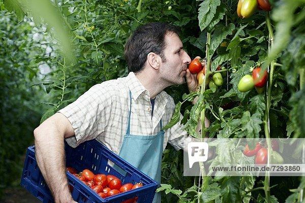 Mature man harvesting tomatoes in greenhouse Mature man harvesting tomatoes in greenhouse