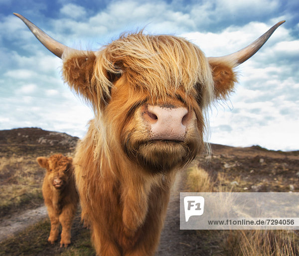 UK  Schottland  Highland Rinder mit Kalb in Laide UK, Schottland, Highland Rinder mit Kalb in Laide