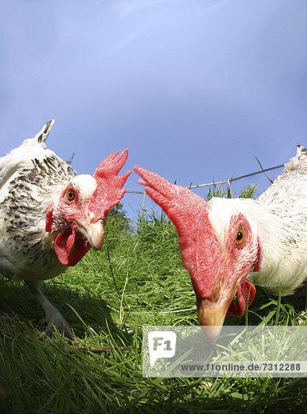 Portrait  two chickens (Gallus gallus)