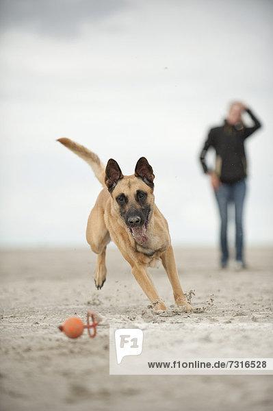 Hollandse Herdershond  Holländischer Schäferhund  Herder spielt mit einem Ball  Hundehalterin schaut zu  Sankt Peter-Ording  Schleswig-Holstein  Deutschland  Europa
