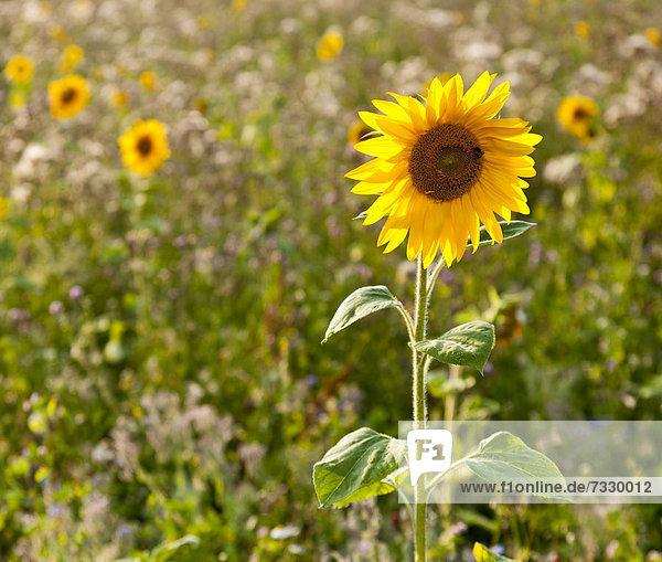 Sonnenblume (Helianthus annuus) am Feldrand