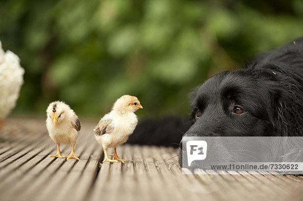 Portrait schwarzer Hovawart und zwei Küken  Tierfreundschaft Portrait schwarzer Hovawart und zwei Küken, Tierfreundschaft