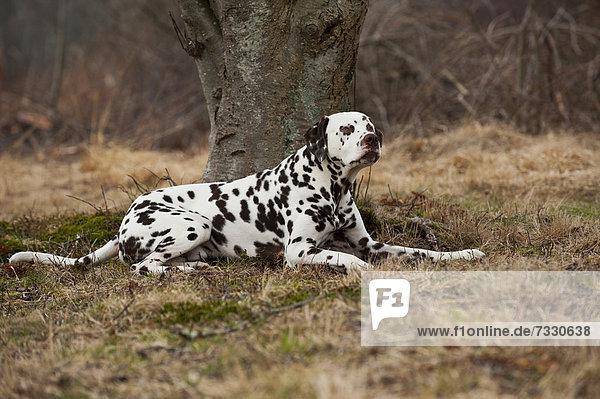 Liegender Dalmatiner