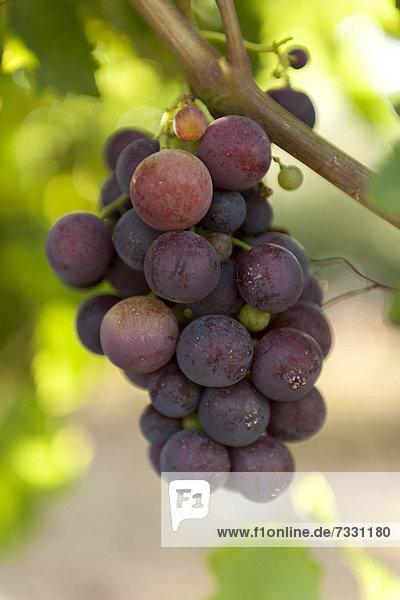 Wein  Rote Traube  Rebsorte Kardinal  Kroatien  Südeuropa  Europa
