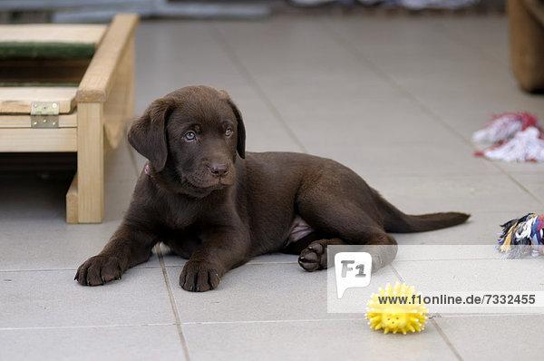 Brauner Labrador Retriever Welpe liegt auf Fliesen