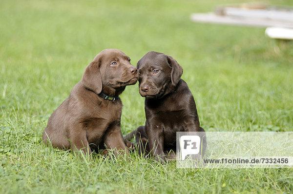 Zwei braune Labrador Retriever Welpen sitzen nebeneinander