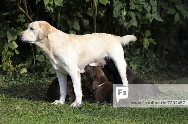 Blonder Labrador säugt braune Labrador Retriever Welpen
