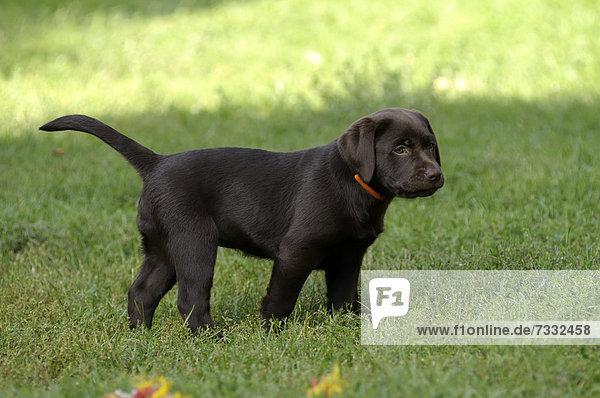 Brauner Labrador Retriever Welpe steht auf Wiese