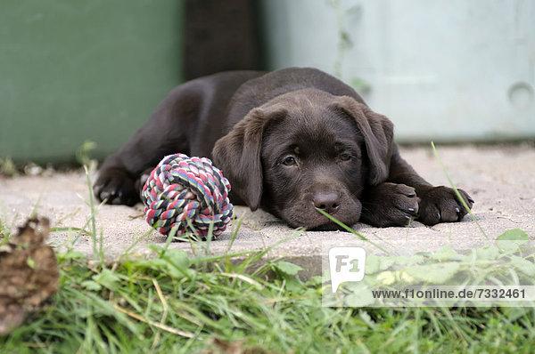Brauner Labrador Retriever Welpe liegt auf einer Steinstufe neben einem Spielball