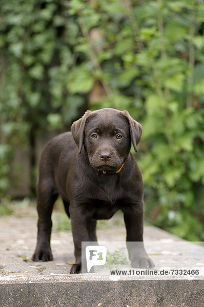 Brauner Labrador Retriever Welpe steht auf einer Steinstufe