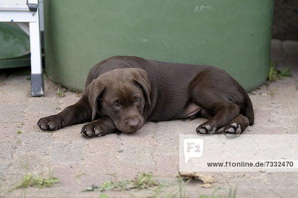 Brauner Labrador Retriever Welpe liegt vor einer Regentonne