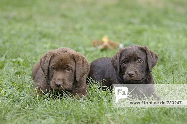 Zwei Labrador Retriever Welpen liegen im Gras nebeneinander
