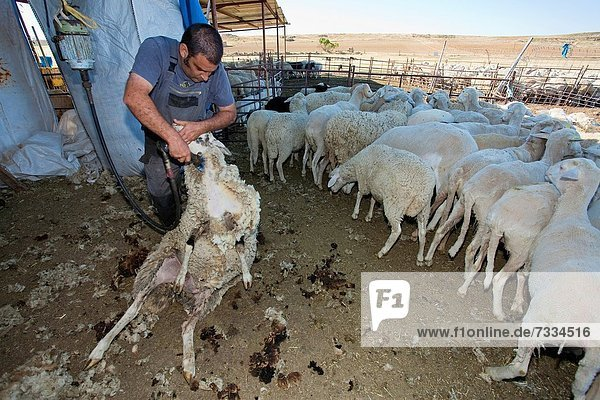 Young farmer shearing a sheep with a electrical scissors for wool Salamanca province Castilla y León Spain