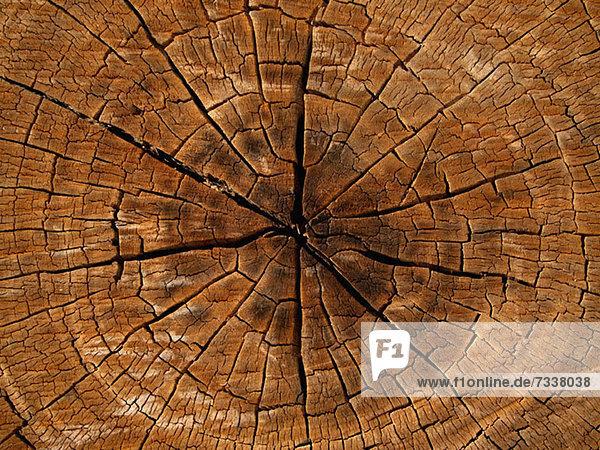Querschnitt des Baumes