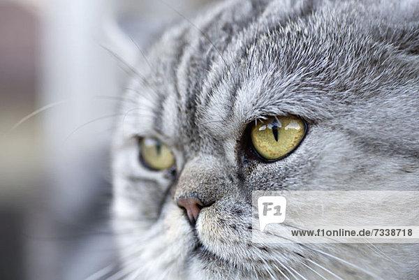 Eine graue Hauskatze schaut neugierig weg. Eine graue Hauskatze schaut neugierig weg.