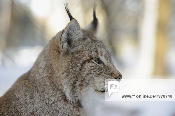 Luchs  lynx lynx  im Schnee  Bayern  Deutschland  Europa Luchs, lynx lynx, im Schnee, Bayern, Deutschland, Europa
