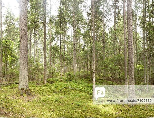 Wald im Monbachtal  Schwarzwald  Baden-Württemberg  Deutschland Wald im Monbachtal, Schwarzwald, Baden-Württemberg, Deutschland