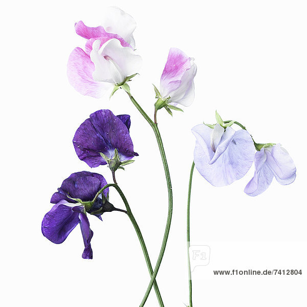 Nahaufnahme verschiedener violetter Blüten