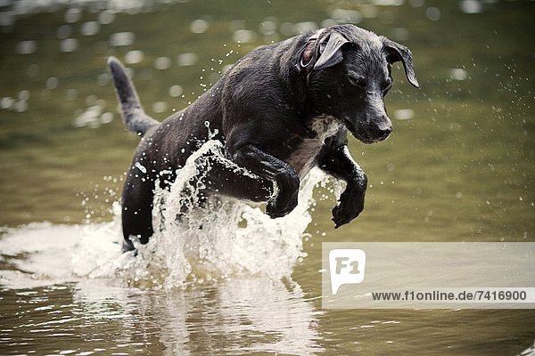 niedlich  süß  lieb  planschen  Hund  Fluss  Spiel