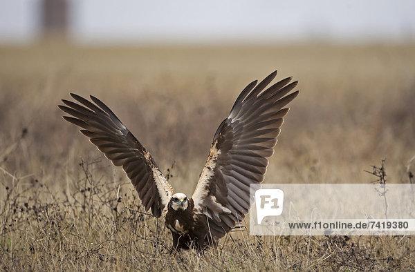 Weihe Circus Weihen Boden Fußboden Fußböden landen Mit den Flügeln schlagen flattern Flügelschlag Erwachsener November