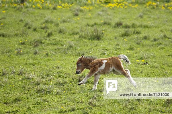 Fohlen Füllen Juni Schottland Shetlandinseln Shetlandpony Fohlen,Füllen,Juni,Schottland,Shetlandinseln,Shetlandpony