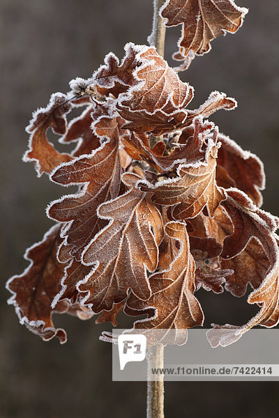 bedecken Close-up Eiche jung Frost Januar Powys Wales