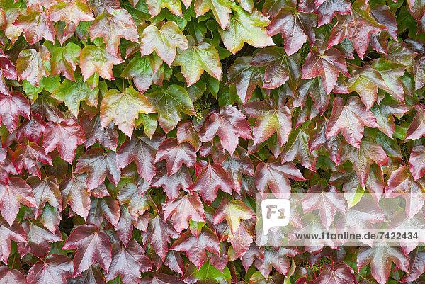 Farbe Farben Wand Wachstum wechseln Garten Herbst Kletterpflanze England japanisch September