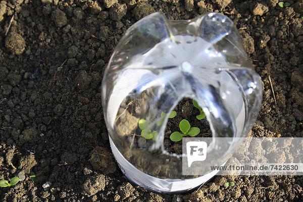 klein  Gemüse  Wachstum  Garten  Kunststoff  Salat  Schmuckstein  keimen  Glasglocke  April  Flasche  England  Suffolk